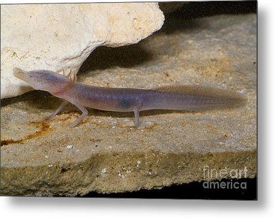 Texas Blind Salamander Metal Print by Dante Fenolio