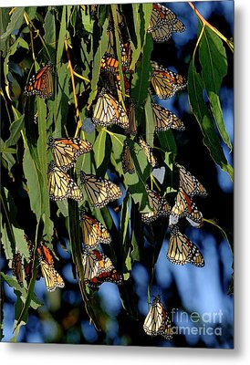 Butterflies Metal Print by Marc Bittan