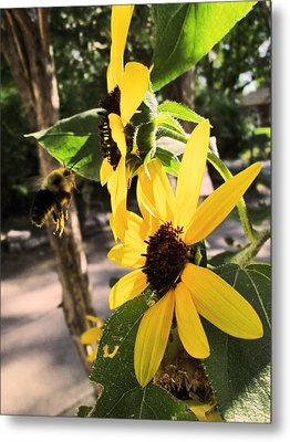 Bee And Sunflower  Metal Print by Jon Baldwin  Art