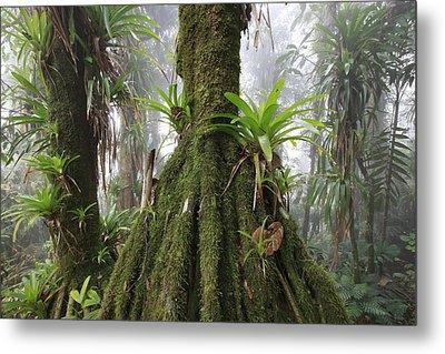 Bromeliad Bromeliaceae And Tree Fern Metal Print by Cyril Ruoso