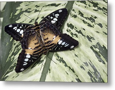 Butterfly Metal Print by Nick Mares