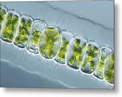 Green Algae, Light Micrograph Metal Print by Frank Fox