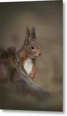 Red Squirrel Metal Print by Andy Astbury