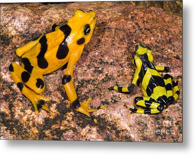 Harlequin Toad Metal Print by Dante Fenolio