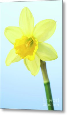 Daffodil (narcissus Sp.) Metal Print by Lawrence Lawry