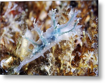 Nudibranch Metal Print by Alexander Semenov