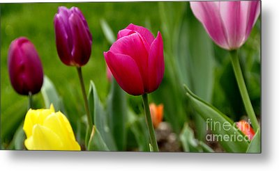 Tulip Garden University Of Pittsburgh  Metal Print by Thomas R Fletcher