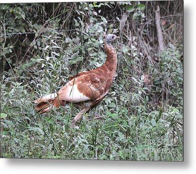 Wild Turkey Metal Print by Jack R Brock
