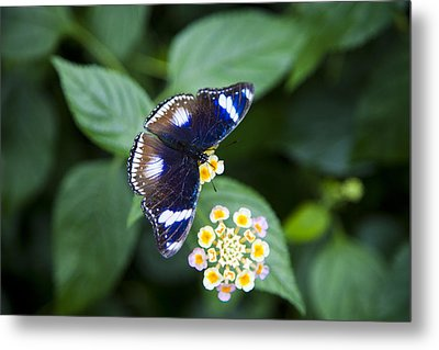 A Butterfly Rests On A Leaf Metal Print by Taylor S. Kennedy