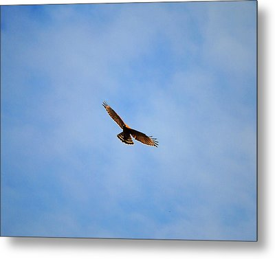 Red Shouldered Hawk In Flight Metal Print by Jai Johnson
