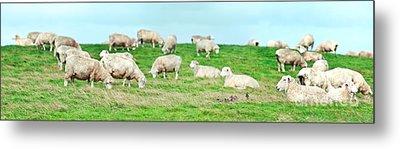 Sheeps Metal Print by MotHaiBaPhoto Prints