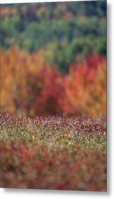 A Blueberry Patch Alongside Maines Metal Print by Nick Caloyianis