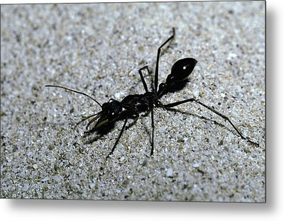A Bull Ant With Jaws Opened Metal Print by Jason Edwards