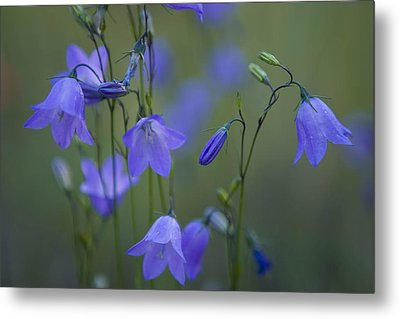 A Close Up Of Mountain Hairbells Dietes Metal Print by Ralph Lee Hopkins
