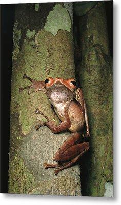 A Collets Tree Frog Rhacophorus Colleti Metal Print by Tim Laman