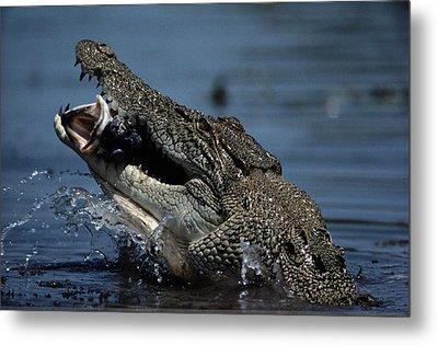 A Crocodile Eats A Giant Perch Fish Metal Print by Belinda Wright