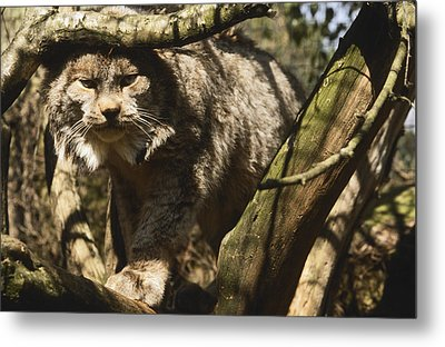 A Female Northern Lynx With Her Thick Metal Print by Jason Edwards