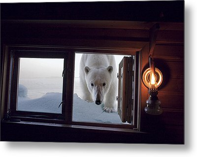 A Female Polar Bear Peering Metal Print by Paul Nicklen