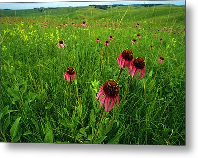 A Field Of Purple Coneflowers Metal Print by Annie Griffiths