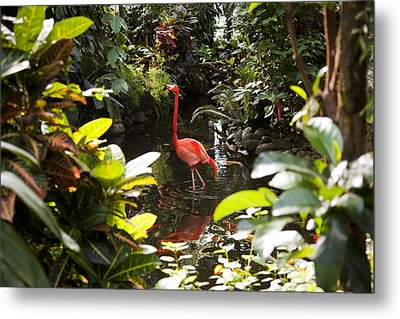 A Flamingo Wades In Shallow Water Metal Print by Taylor S. Kennedy