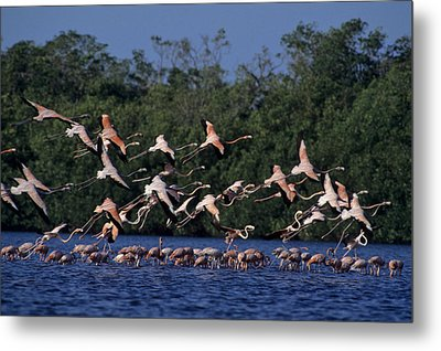 A Flock Of Flamingos Phoenicopterus Metal Print by Kenneth Garrett