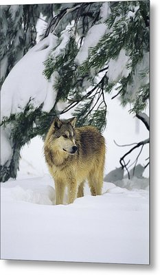 A Gray Wolf Stands Under Metal Print by Norbert Rosing