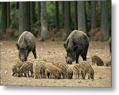 A Group Of Young Wild Boars Nose Metal Print by Norbert Rosing