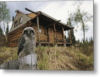 A Hawk Owl Sits On A Stump Near A Log Metal Print by Michael S. Quinton