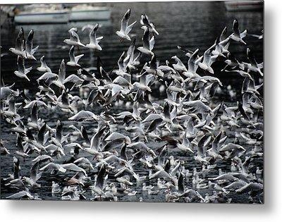 A Large Group Of Black-headed Gulls Metal Print by Tim Laman