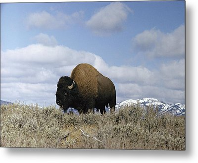 A Magnificent American Bison Bull Bison Metal Print by Dr. Maurice G. Hornocker