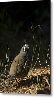 A Male California Quail Stands Metal Print by Taylor S. Kennedy