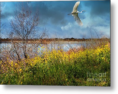 A Moment In Time In The Journey Of The Great White Egret . 7d12643 Metal Print by Wingsdomain Art and Photography