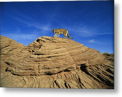 A Mountain Lions Walks Across This Metal Print by Norbert Rosing