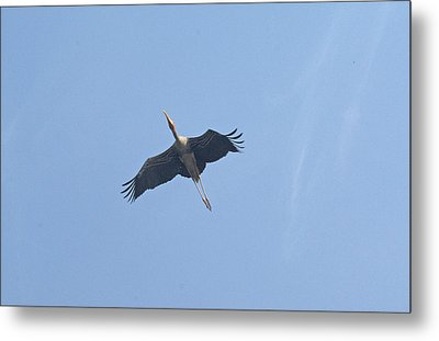A Painted Stork Flying High In The Sky Metal Print by Ashish Agarwal