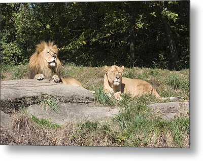 A Pair Of Lions In The Pittsburgh Zoo Metal Print by Stacy Gold