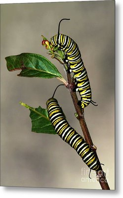 A Pair Of Monarch Caterpillars Metal Print by Sabrina L Ryan