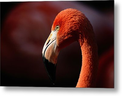 A Portrait Of A Captive Greater Metal Print by Tim Laman