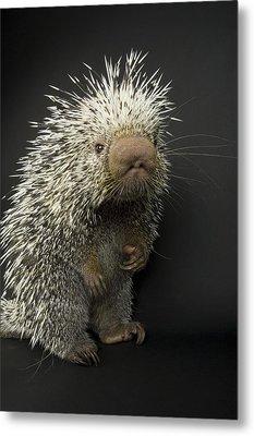 A Prehensile-tailed Porcupine Coendou Metal Print by Joel Sartore