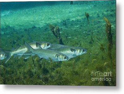 A School Of Striped Mullet Wim Metal Print by Michael Wood