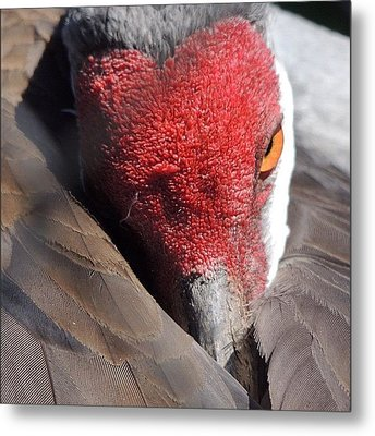 A Shy Sandhill Crane Metal Print by Travel Designed