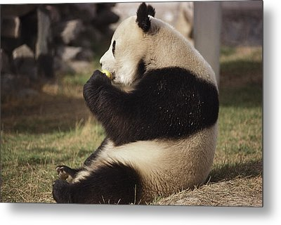 A Side View Of A Panda Bear Sitting Metal Print by Todd Gipstein