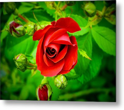A Single Red Rose Blooming Metal Print by Chantal PhotoPix