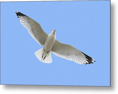 A Soaring Dove Metal Print by Don Hammond