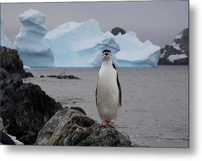 A Solitary Chinstrap Penguin Stands Metal Print by Paul Nicklen