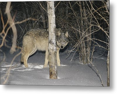 A Timber Wolf Peers From Behind A Tree Metal Print by Paul Nicklen
