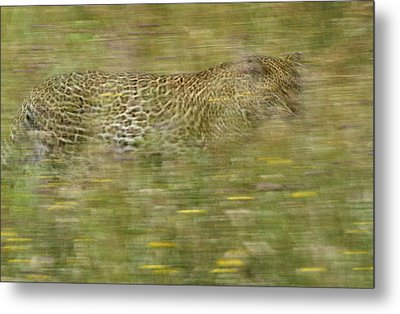 A Young Female Leopard Moving Metal Print by Michael Melford