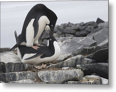 Adelie Penguins Mating  Antarctica Metal Print by Flip Nicklin