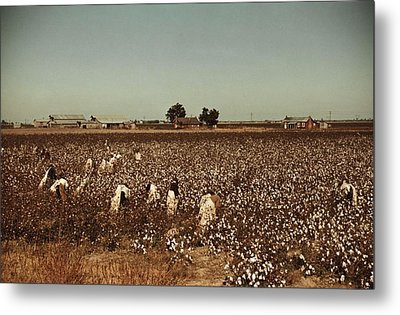 African American Day Laborers Picking Metal Print by Everett