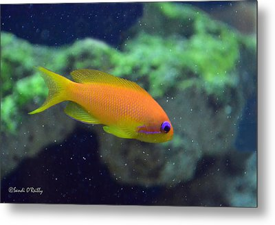 African Anthias Metal Print by Sandi OReilly