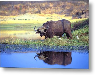 African Cape Buffalo, Photographed At Metal Print by John Pitcher